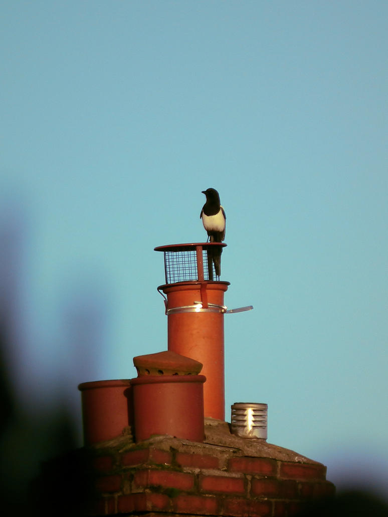 chimney magpie by harrietbaxter