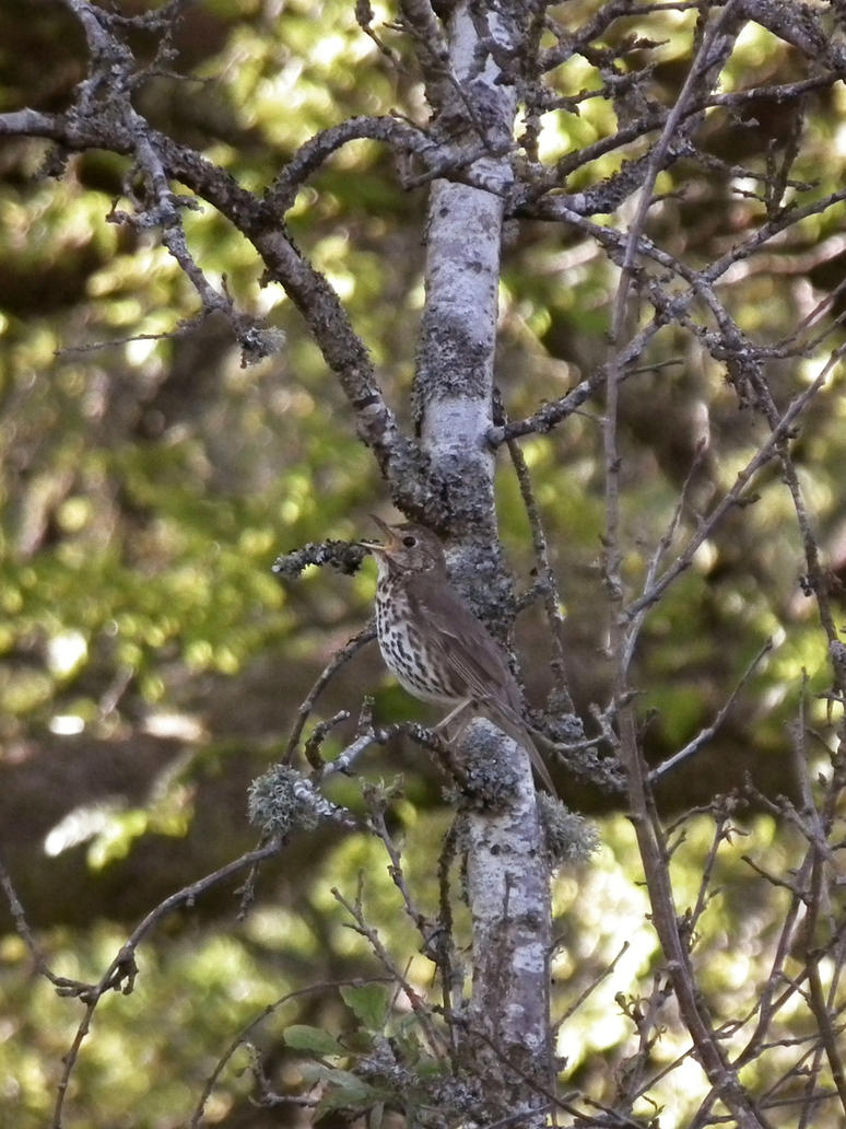 song thrush by harrietbaxter