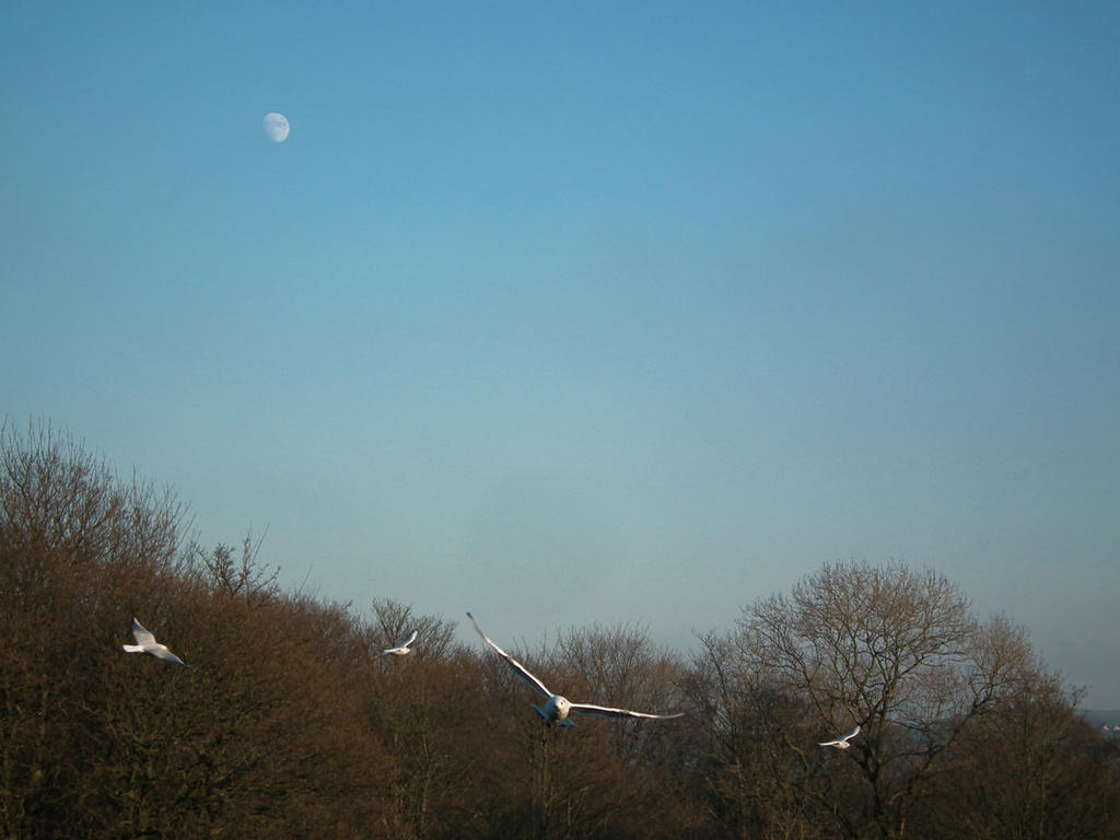 gulls and moon 2 by harrietbaxter