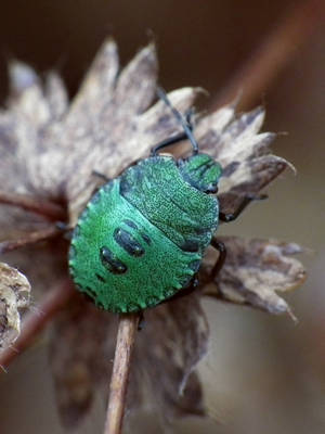 shield beetle by harrietbaxter
