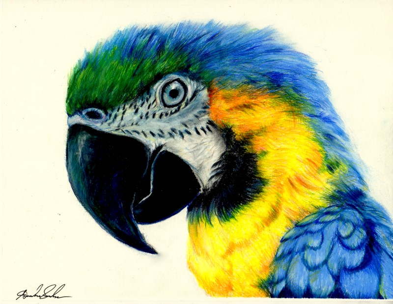 Macaw colored pencil drawing by pinsetter1991