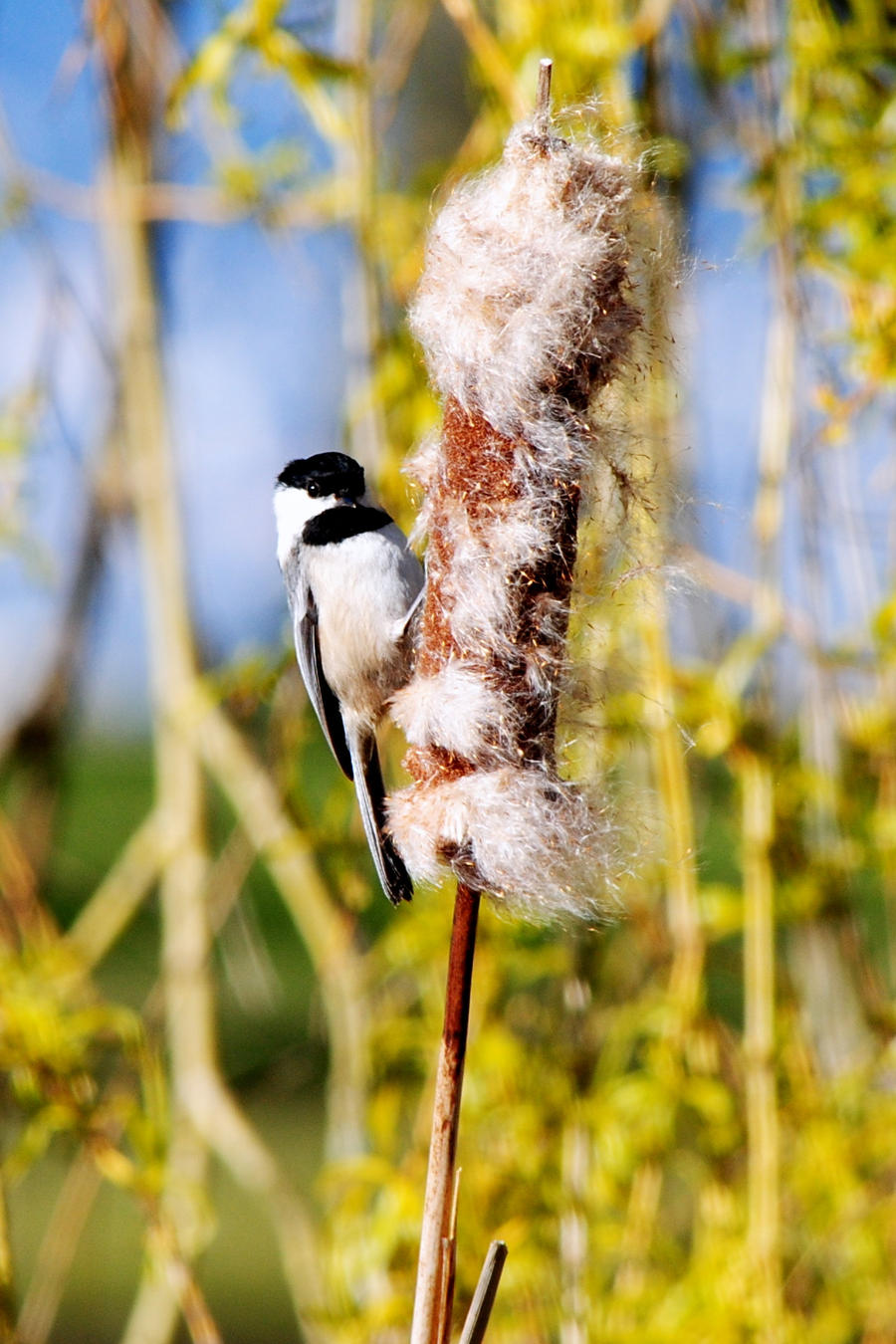 Black Capped Chickadee by salohcin19