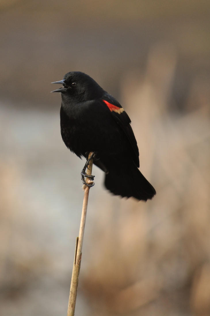 Red-Winged Blackbird by salohcin19