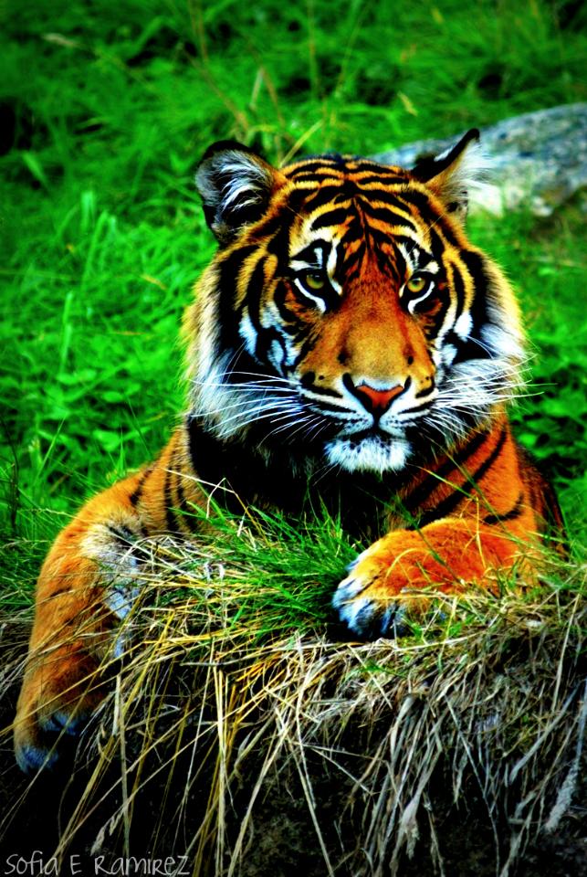 IPhone 4 Wallpaper Tiger By SofiaERamirez
