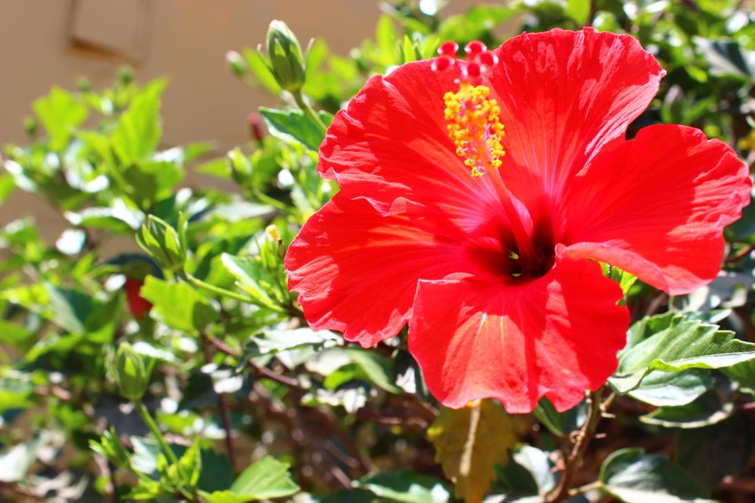 Hibiscus rojo by scarlettnatalie