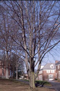 green tape tree