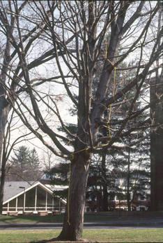 yellow rope tree