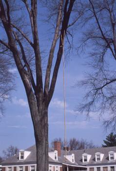 big rope tree