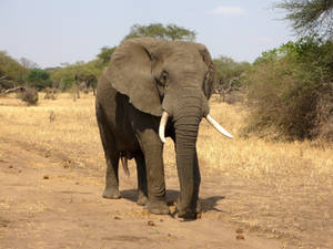 Portrait-of-elephant-in-bush