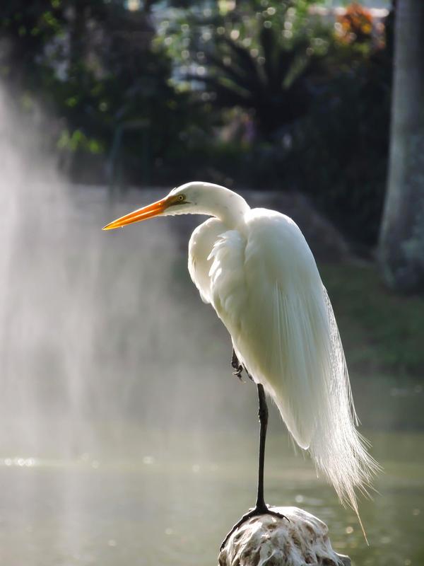 Snowy Egret Plume by RoseCS