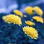 Chrysanthemum..
