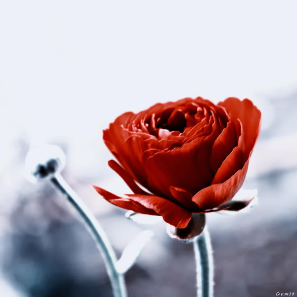 Red Ranunculus.. by gomit