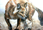 Dhole in the dust