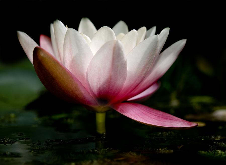 Lily by twinkels