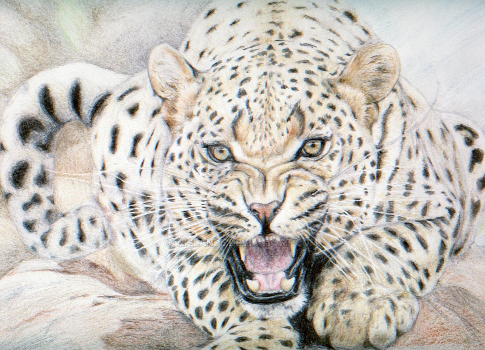 Leopard Head Roaring