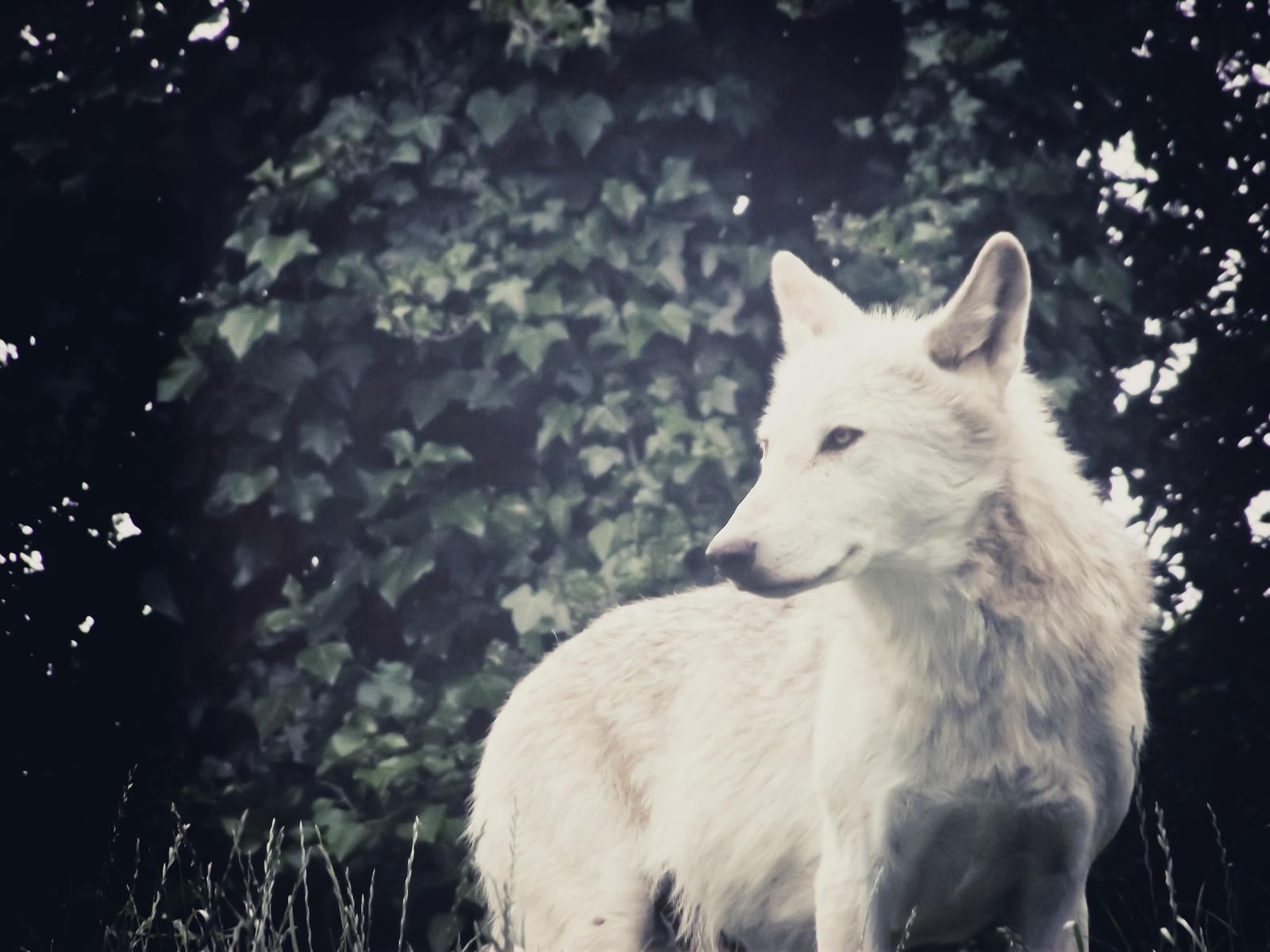 Chloe Epping - Admiradora de Gaia White_wolf_by_n7commander-d3rbg8n