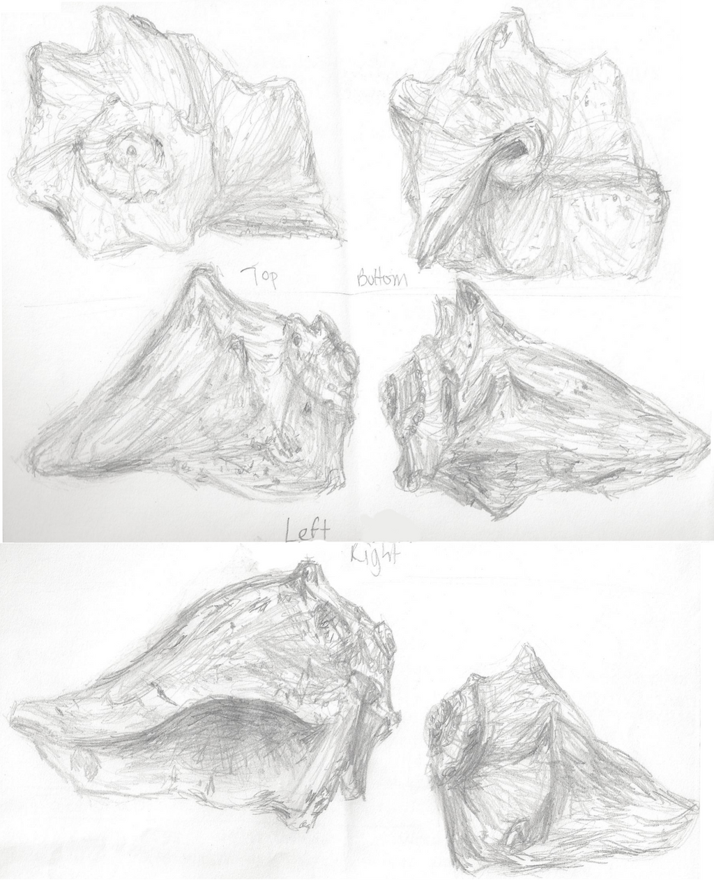 how to draw a conch shell