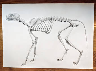 Skeletal Cat by Maisha-Iris