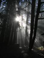 sun ray redwoods 1 by wafreeSTOCK