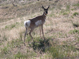 Antelope 2 by DocMallard