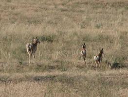 Antelope family 1 by DocMallard