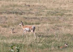 Antelope family 2 by DocMallard