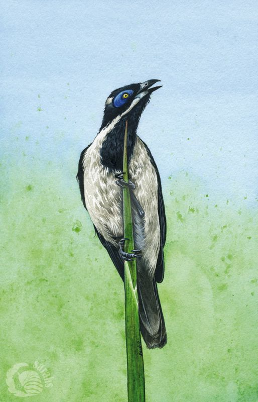 Blue Faced Honeyeater by saraquarelle