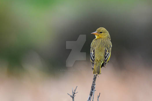 Cape Weaver (Ploceus capensis, female)