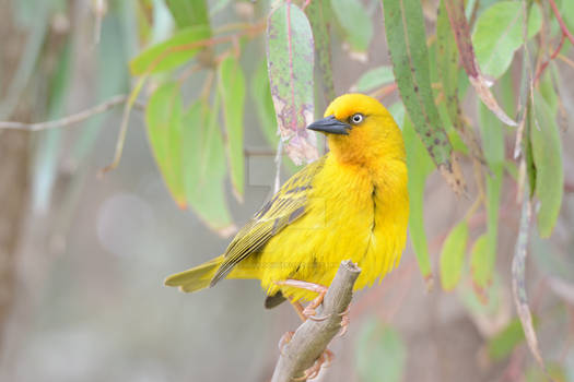 Cape Weaver (Ploceus capensis, male)