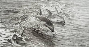 Bow Riders - Pacific White-sided Dolphin