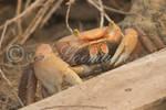 Crabe-0020