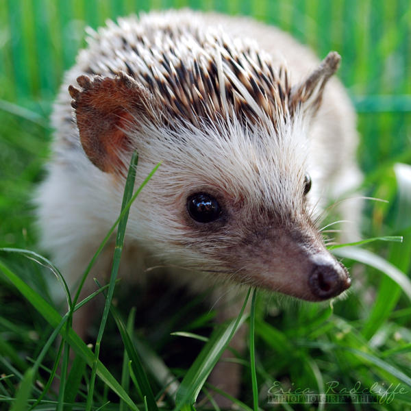 Hedgie by ericarad