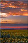 The Sun's Flowers by kkart