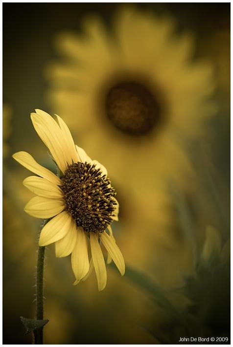 Sunflower Softness by kkart