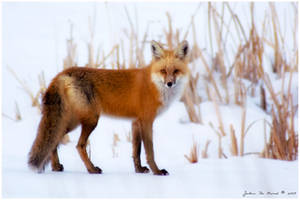 The Gaze Of A Red Fox by kkart