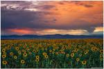 God's Sunflower Sky