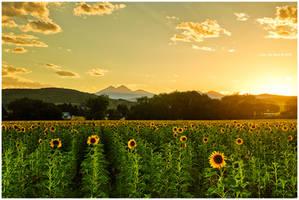 A Sunflower Paradise
