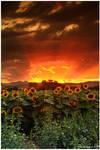 August Sunflower Skies
