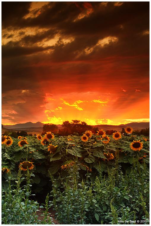 August Sunflower Skies by kkart