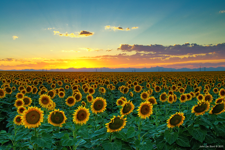 Sunflower Sea by kkart