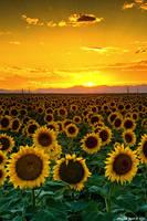 Golden August by kkart