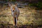 The Look Of A Predator by kkart