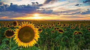 Sunflowers Of Golden Hour by kkart