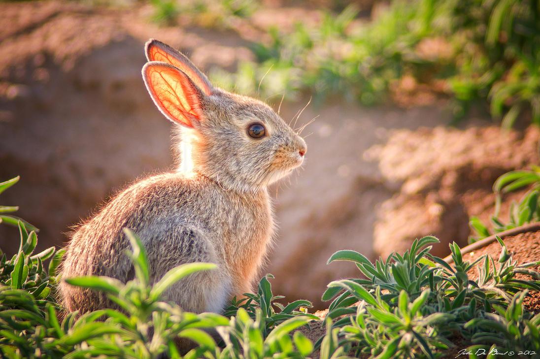 Baby Bunny by kkart