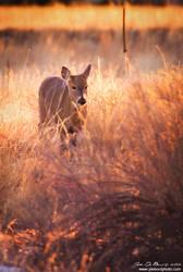 Deer In Golden Hour Light by kkart