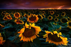 Lightning and Sunflowers by kkart