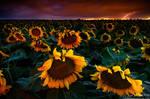 Lightning and Sunflowers
