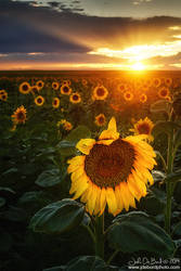 Sunflowers and Sunrays
