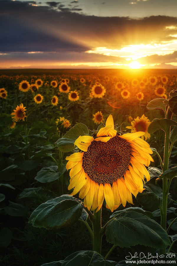 Sunflowers and Sunrays by kkart
