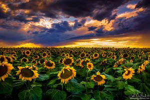 Colorado Sunflowers At Sunset